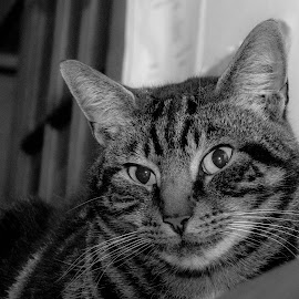 by Helen Andrews - Animals - Cats Portraits