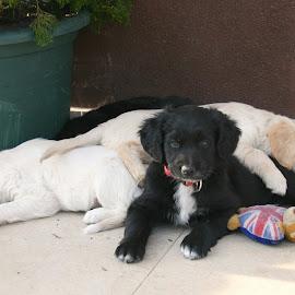 Sleepy family by Mario Horvat - Animals - Dogs Puppies ( dog family, family, sleepy dog, sleepy, puppy, sleeping, dog )