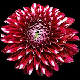 Dahlia by Asif Bora - Flowers Flower Gardens