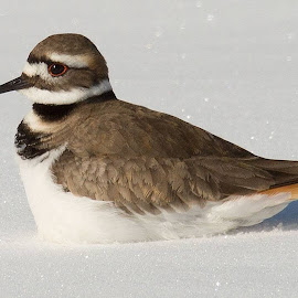 Killdeer by Betty Forsht - Novices Only Wildlife