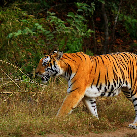 Silent Walker by Ranjit Kumar Chakraborty - Animals Lions, Tigers & Big Cats ( predator, tiger, grass, wildlife, daylight,  )