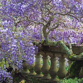 7424wisteria filoli tree by Kathy Eder - Flowers Tree Blossoms ( wisteria, flowers, beauty, purple, filoli,  )