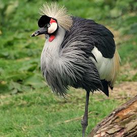 Grey Crown Crane by Ralph Harvey - Animals Birds ( bird, newquay zoo, wildlife, crane, ralph harvey )