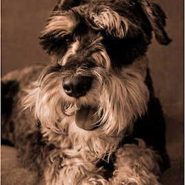 KIng Sly by Susan Pretorius - Animals - Dogs Portraits