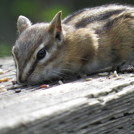 Snack Time by Rose McAllister - Animals Other ( critter, brown.nature, chipmunk )