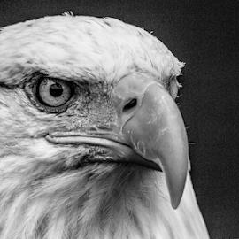 Bald eagle by Garry Chisholm - Black & White Animals ( raptor, bird of prey, nature, bald eagle, garry chisholm )