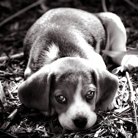 Baby Beagle by Kevin Litchfield - Animals - Dogs Puppies ( beagle puppy, beagle, puppy portrait,  )