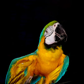 Zack by Zsuzsanna Szugyi - Painting All Painting ( macao, parrot, oil paint )