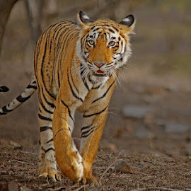 by Soham Chakraborty - Animals Lions, Tigers & Big Cats
