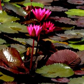 Water Lilies by Noel Hankamer - Flowers Flowers in the Wild ( water lilies lily nymphaeaceae rhizomatous aquatic herbs purple green pads water flower,  )