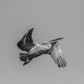 Pelican by Garry Chisholm - Black & White Animals ( bird, flying, kotu, pelican, gambia, wildlife, garry chisholm )