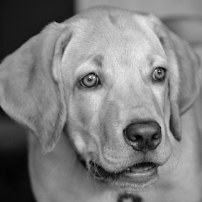 Puppy by Diliban P - Black & White Animals ( black and white, puppy, beauty, dog, labrador, bruno, lab, closeup,  )