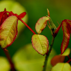 rose leaves by Caroline Beaumont - Nature Up Close Leaves & Grasses ( rose, red, green, bush, leaf )
