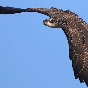 Maiden Flight! by Anthony Goldman - Animals Birds ( bird, wild, predator, tampa, juvenile flight, osprey,  )