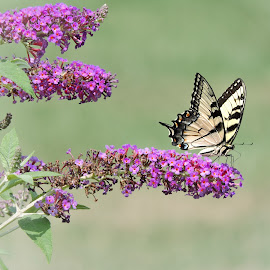 On the edge by Melissa Davis - Animals Insects & Spiders ( butterfly, butterfly bush, missysphotography, yellow tigerswallow, eastern tigerswallow )