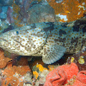 Orange-Spotted Grouper
