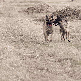 by Anastasia Kloppers - Animals - Dogs Running ( animals, dogs, pets, dogs running,  )