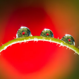 Flower through the water drops by Tzvika Stein - Nature Up Close Natural Waterdrops ( water, red, dew, green, drops, flowers )