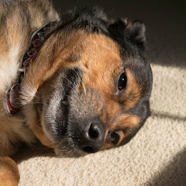 by Vicki Switala Riley - Animals - Dogs Portraits ( relaxed, husky, white, german shepherd, black, shepard, portrait, brown, dog, sun,  )