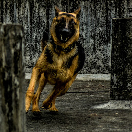 My lowkey by Amithabh Uday - Animals - Dogs Running ( playing, dogs, colors, guard, pet, pets, fast, dog, running,  )