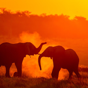 red elephants by Bridgena Barnard - Animals Other Mammals