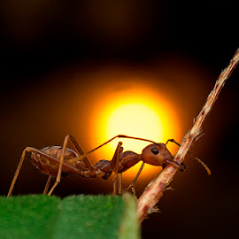 Ant Working Till Sunset by Carrot Lim - Animals Insects & Spiders