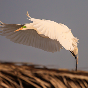 Great Egret by Cristobal Garciaferro Rubio - Animals Birds