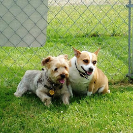 Rocky and Roxy by Mary Gallo - Animals - Dogs Playing (  )