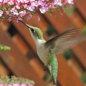 Hummingbird Bush Attracks Hummingbird by Diane Butler - Animals Birds ( ruby, hummingbird, nectar, feeding, bush, throated )