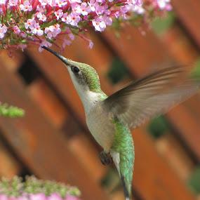Hummingbird Bush Attracks Hummingbird by Diane Butler - Animals Birds ( ruby, hummingbird, nectar, feeding, bush, throated )
