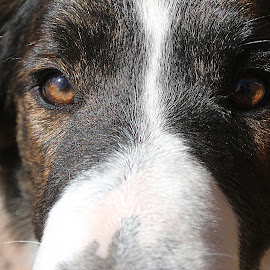 Stare by Tina White - Animals - Dogs Portraits ( collie, pet, dog, portrait, eyes, animal )