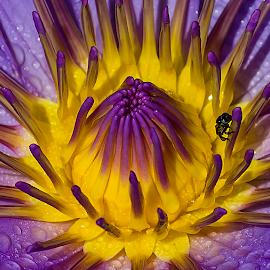 by Ryan Dominguez - Flowers Single Flower ( waterlily, purple lily, bee on a flower, purple petals, flower )
