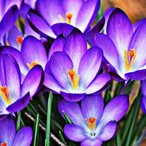 purple by Tim Hauser - Nature Up Close Flowers - 2011-2013 ( nature, crocus, art, fine art, flower )
