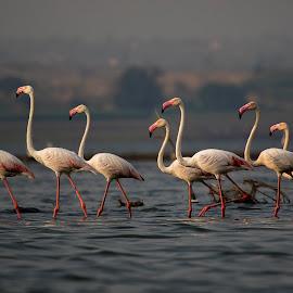 by Upendra Sonarikar - Animals Birds ( flying fire, bhigwan, flamingos, wings of fire, birds )