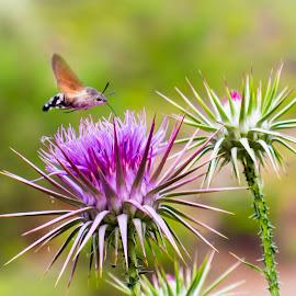 Macroglossum stellatarum by Theodoros Theodorou - Animals Insects & Spiders ( flying, macro, macroglossum, nature, hummingbird, stellatarum, hawk moth, insect, cyprus )