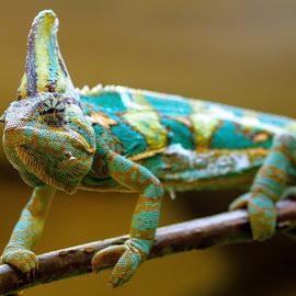 The Ultimate Chameleon. by John Wilson - Animals Amphibians ( animals, mexico, wildlife, chameleon, animal )