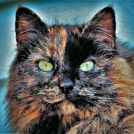 Winter wear by Sue Delia - Animals - Cats Portraits ( calico, domesticated, cat, long hair, feral )