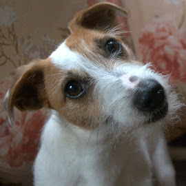Jack Russel by Doug Faraday-Reeves - Animals - Dogs Portraits ( jack russell )