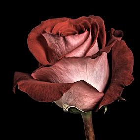 Dar Red Rose by Cristobal Garciaferro Rubio - Flowers Single Flower ( rose, petals, roses, flowers, flower, petal )