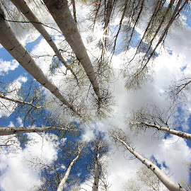 Birch Forest Sky by Eric Demattos - Landscapes Forests ( sky, blue sky, forest, eric demattos, birch, clouds )