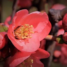 by Recep Cenbek - Flowers Tree Blossoms ( ağaç çiçeği, çiçek, kırmızı )