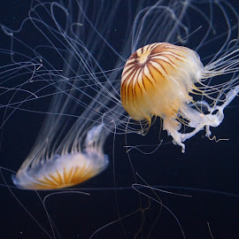 Jellyfish by Ciprian Olariu - Novices Only Wildlife ( bay, aquarium, ocean, san francisco, jellyfish )