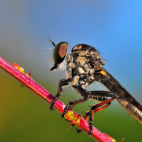 Robberfly by Ramlan Abdul Jalil - Animals Insects & Spiders