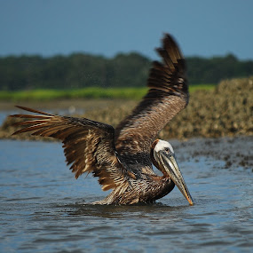 Pelican Wings by Karen Santilli - Animals Birds ( bird, hilton head, bay, wings, wingspan, lake, pelican, south carolina )