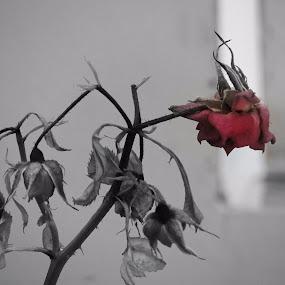ROSE OF THE DESERT by Karthik Sivaraman - Flowers Single Flower ( rose, selective color, shrub, dead flower, flower )