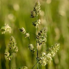 Grasses by Glyn Lewis - Landscapes Prairies, Meadows & Fields