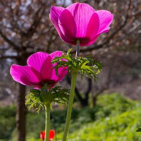 in my backyard by Hezi Shohat - Flowers Flowers in the Wild ( modiin, d7100, israel, nikon, flower )