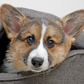 Puppy expression by Mia Ikonen - Animals - Dogs Puppies ( lovable, pembroke welsh corgi, finland, cute, expressive )