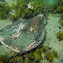 Marbled Electric Ray