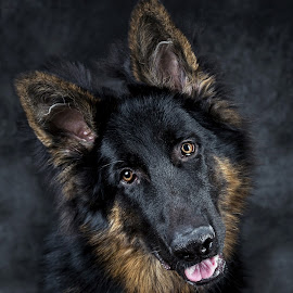 German Shepherd puppy by Andreas Romijn - Animals - Dogs Portraits ( dog photo, pet photography, dog portrait, german shepherd, andreas romijn )